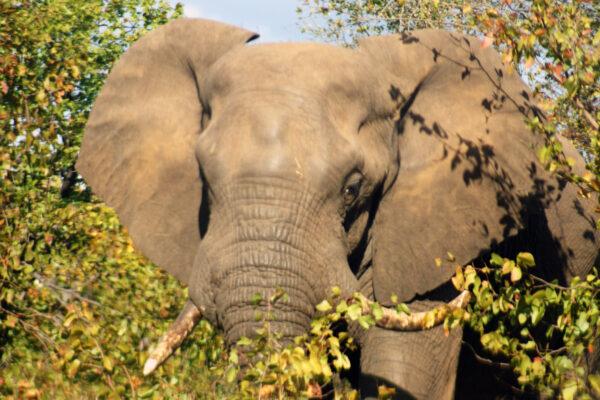 Elefante tra gli alberi