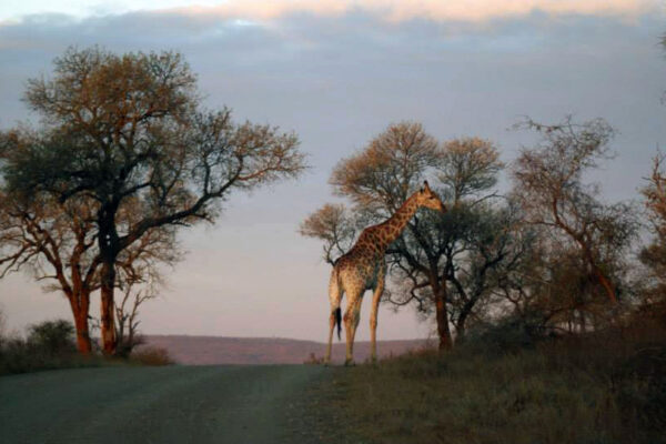 Giraffa Kruger