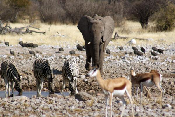 Elefanti Etosha