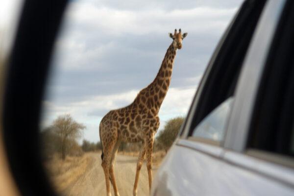 Giraffa Sudafrica