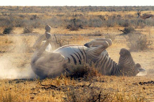 Zebra Etosha